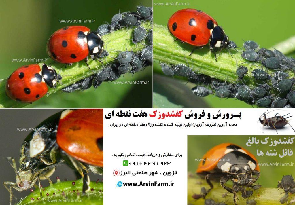 فروش کفشدوزک هفت نقطه ای ladybird زنده | از بین بردن شته ها | نابود کردن شته | مبارزه با شته | پرورش کفشدوزک | استارتر پرورش حشرات | تولید کفشدوزک | خرید کفشدوزک | شته | محمد آروین | مزرعه آروین www.ArvinFarm.ir