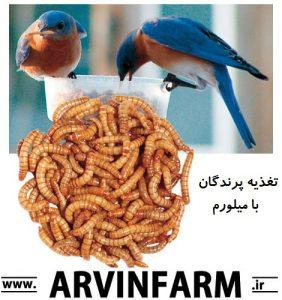 مزرعه آروین ( www.ArvinFarm.ir ) : پرورش حشرات : روش پرورش میلورم ؛ پرورش میل ورم ؛ آموزش نحوه پرورش کرم میلورم | میلورم غذای پرندگان مرغ عشق مرغ مینا طیور اهلی فنچ سهره