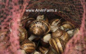 مزرعه آروین ( www.ArvinFarm.ir ) : پرورش حشرات : روش پرورش حلزون ؛ پرورش حلزون ؛ آموزش نحوه پرورش حلزون Live snail breeding Salon Production
