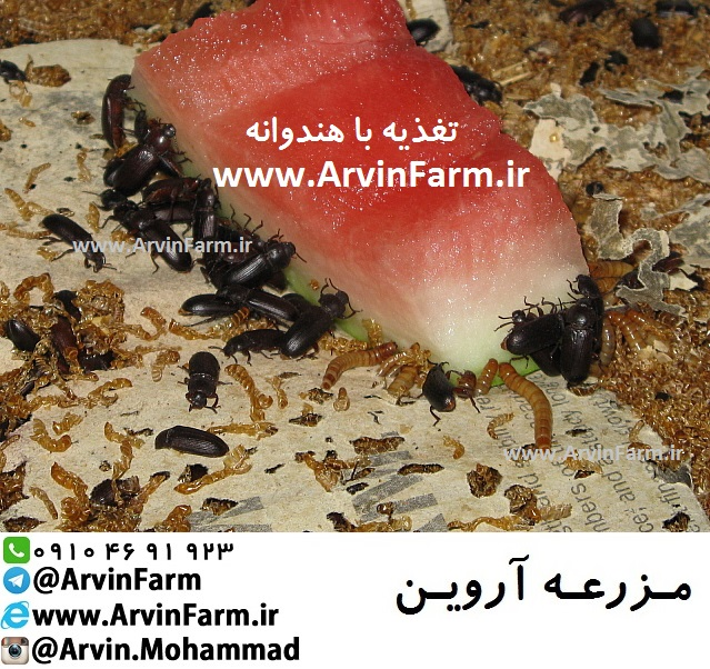 پرورش حشرات | روش پرورش میل ورم | پرورش و تولید میلورم | آموزش نحوه پرورش میلورم و سوپرورم و جیرجیرک | طرح تولید | طرح توجیهی پرورش میل ورم | کرم میلورم | تولید میلورم ساری |بازدید مزرعه میلورم | بازدید انسکتاریوم میلوم | مزرعه آروین www.ArvinFarm.ir